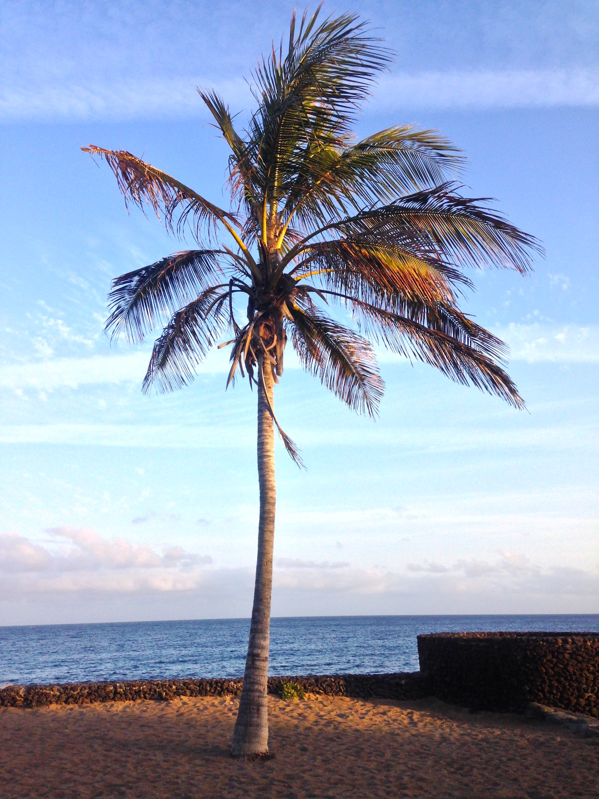 Palm tree on the Costa Teguise, Lanzarote.