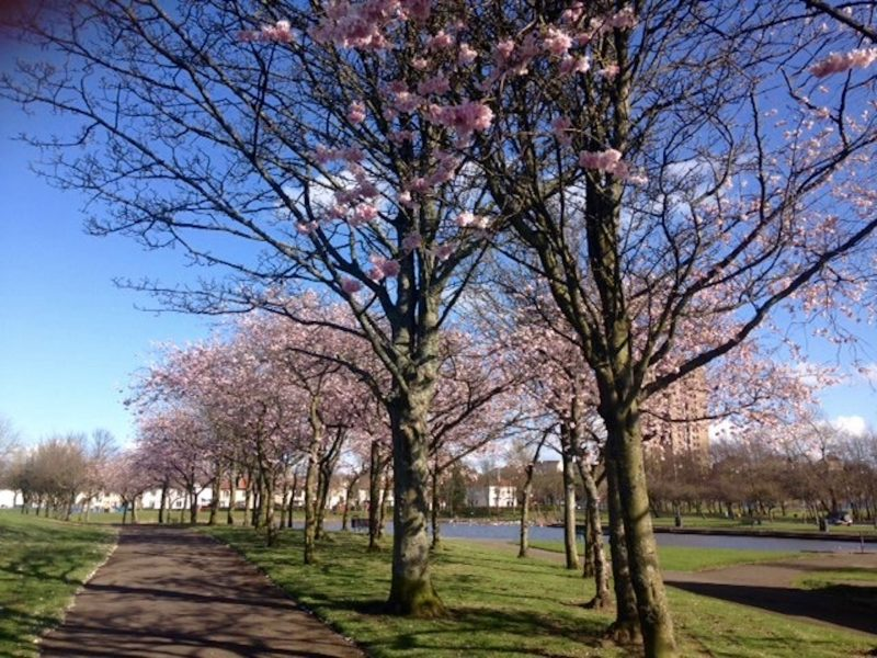 Spring in Glasgow Scotland with cherry blossom in bloom.