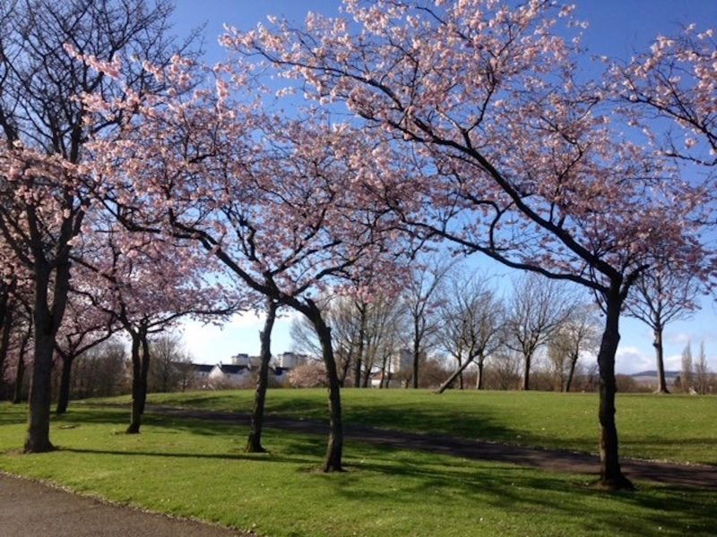 Spring day in Glasgow with cherry blossom trees blooming.