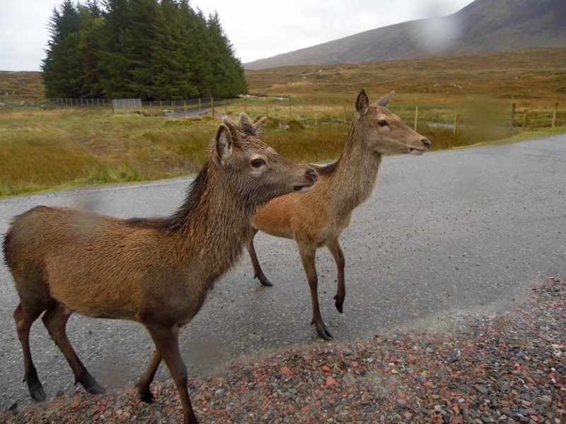 Deer at Rannoch Moor, Scottish Highlands.