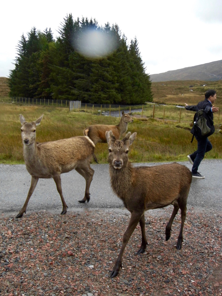 Tourists meeting deer at Rannoch Moor, Scottish Highlands.